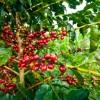 COY: Quer ter o melhor café do Brasil? Se liga nos prazos! <3