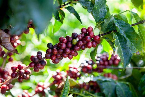 cafe_fruto_cafezal