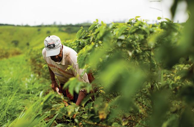 A roçagem na área de produção orgânica da Fazenda Santa Izabel acontece ao menos uma vez por mês. O manejo é indispensável para a manutenção saudável da cultura