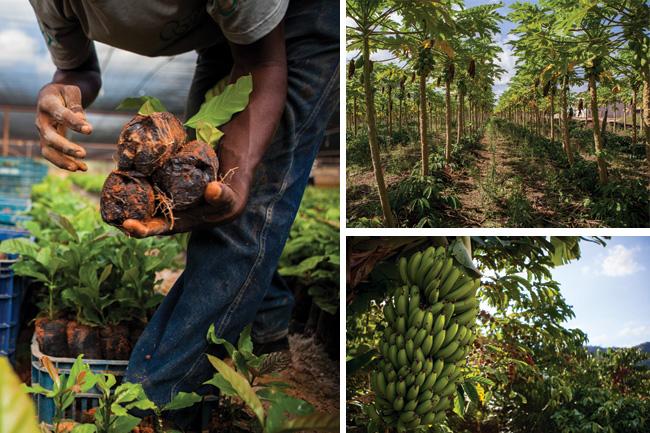 Acima, viveiro onde os clones mais avançados são reproduzidos para a venda; plantações consorciadas com bananeiras, coqueiros e mamoeiros são típicas na região.