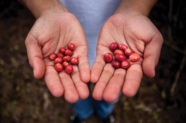 Os frutos podem atingir tamanhos de peneiras altas.