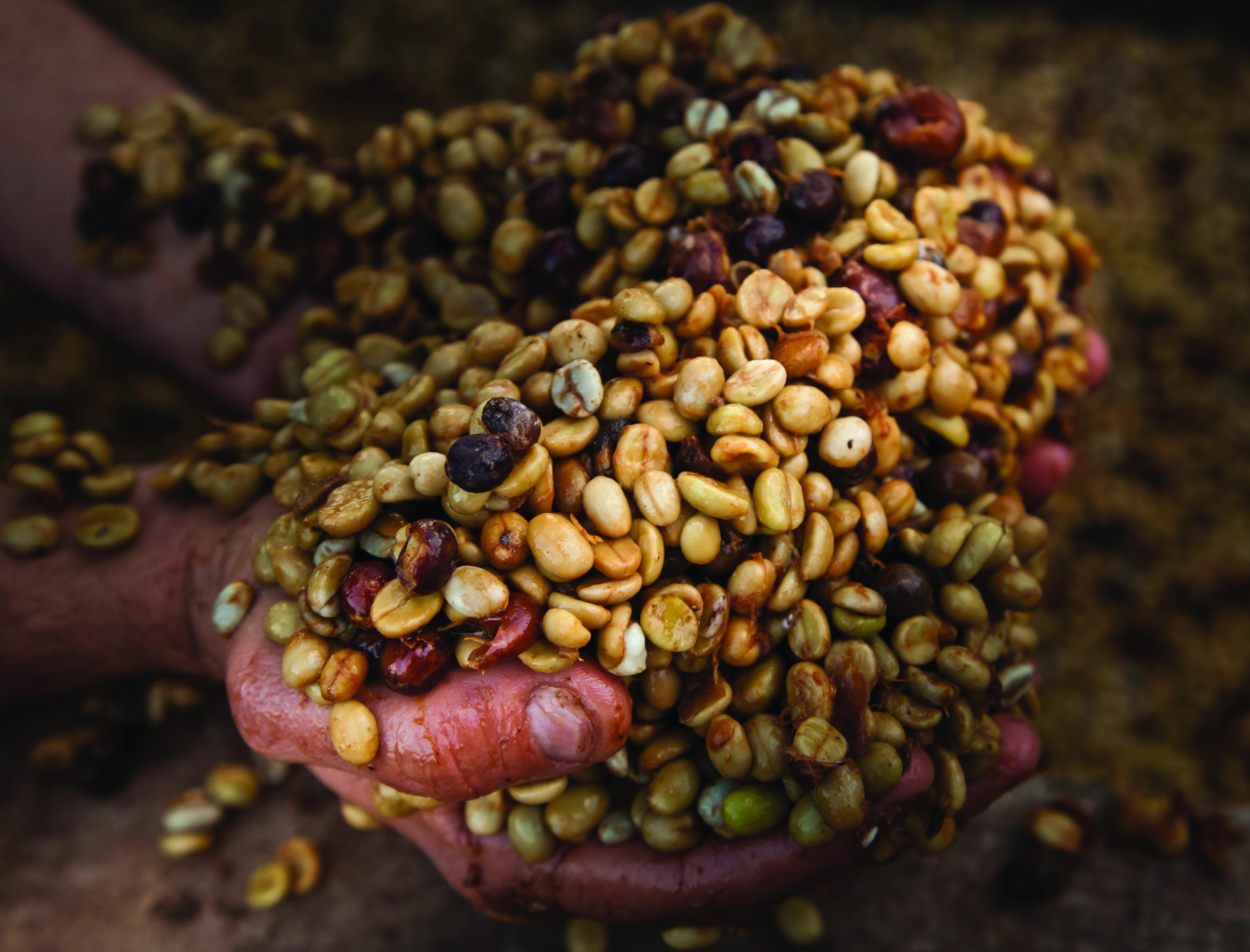 fermentação positiva do café